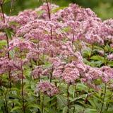 Пинк цветет Eupatorium Стоковое Изображение