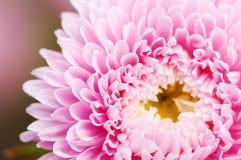 пинк цветка астры стоковые изображения