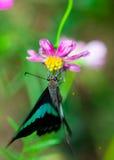 пинк цветка бабочки стоковое изображение