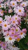 Пинк цветка белый Стоковая Фотография