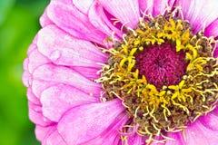 Пинк цветка георгина красочный Стоковое фото RF