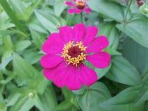 Пинк цветка зеленый Стоковая Фотография