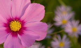 пинк цветка космоса Стоковая Фотография