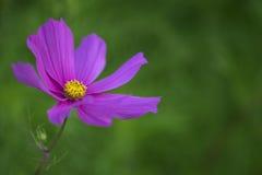 пинк цветка космоса Стоковые Изображения