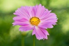 пинк цветка космоса Стоковое Изображение