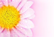 пинк цветка маргаритки Стоковая Фотография