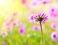 пинк цветка поля Стоковое фото RF