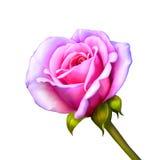 пинк цветка поднял Стоковые Фото