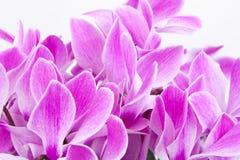 пинк цветка предпосылки Стоковое фото RF