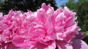 Пинк цветка природы стоковые фото