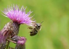 пинк цветка пчелы Стоковое Изображение RF