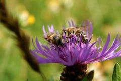 пинк цветка пчелы Стоковые Изображения RF