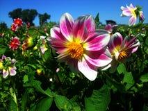 пинк цветка расположения красивейший Стоковая Фотография