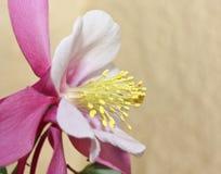 пинк цветка семьи лютика columbine Стоковые Фотографии RF