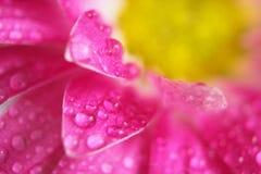 пинк цветка хризантемы Стоковое фото RF