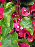 пинк цветка 3 бугинвилий Стоковые Фотографии RF