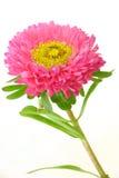 пинк цветка стоковые изображения