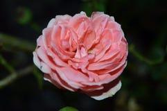 Пинк цветка стоковое фото