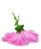 пинк цветка Стоковая Фотография