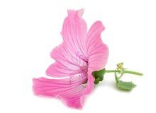 пинк цветка Стоковые Изображения RF