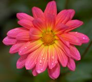 пинк цветка Стоковая Фотография RF