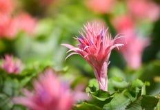 Пинк цветка Bromeliad Стоковая Фотография
