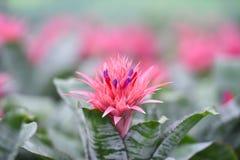 Пинк цветка Bromeliad Стоковое Изображение RF