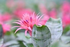 Пинк цветка Bromeliad Стоковые Фотографии RF