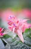 Пинк цветка Bromeliad Стоковые Фото