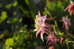 Пинк цветка Columbine белый и желтый Стоковые Изображения RF