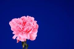 пинк цветка dianthus Стоковое Изображение