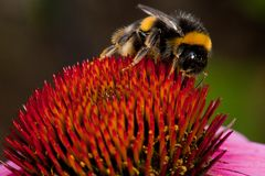 пинк цветка echinacea Стоковое Фото