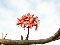 Пинк цветка Plumeria Стоковые Изображения