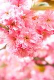 пинк цветков пуков Стоковая Фотография