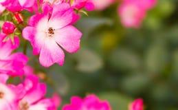 пинк цветков Стоковое Изображение RF