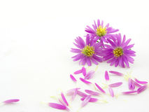 пинк цветков Стоковое Изображение