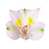 пинк alstroemeria Стоковая Фотография
