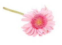 пинк gerber цветка цветения Стоковое Изображение RF