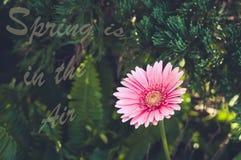 пинк gerbera сада красивейший пинк gerbera Стоковое Фото