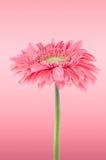пинк gerbera цветка маргаритки Стоковые Фото