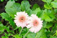 Пинк Gerbera цветка с падениями воды Стоковое фото RF