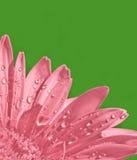 пинк gerbera цветка Стоковое фото RF