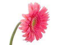 пинк gerbera цветка Стоковое Фото