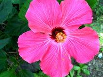 пинк hibiscus цветка Стоковые Изображения RF
