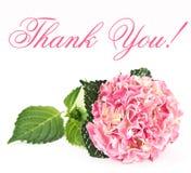 пинк hortensia цветения Стоковое фото RF