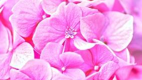 пинк hydrangea цветка абстрактные предпосылки флористические стоковые изображения rf
