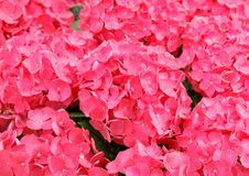 пинк hydrangea Стоковое фото RF