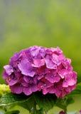 пинк hydrangea Стоковая Фотография RF