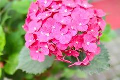 пинк hydrangea Стоковые Фотографии RF