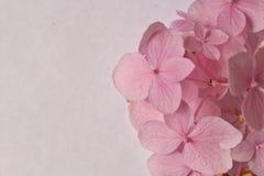 пинк hydrangea Стоковая Фотография
